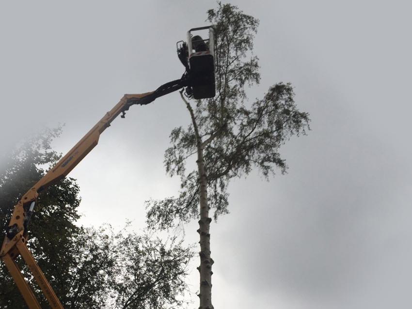 Dangerous Silver birch (Betula pendula) takedown