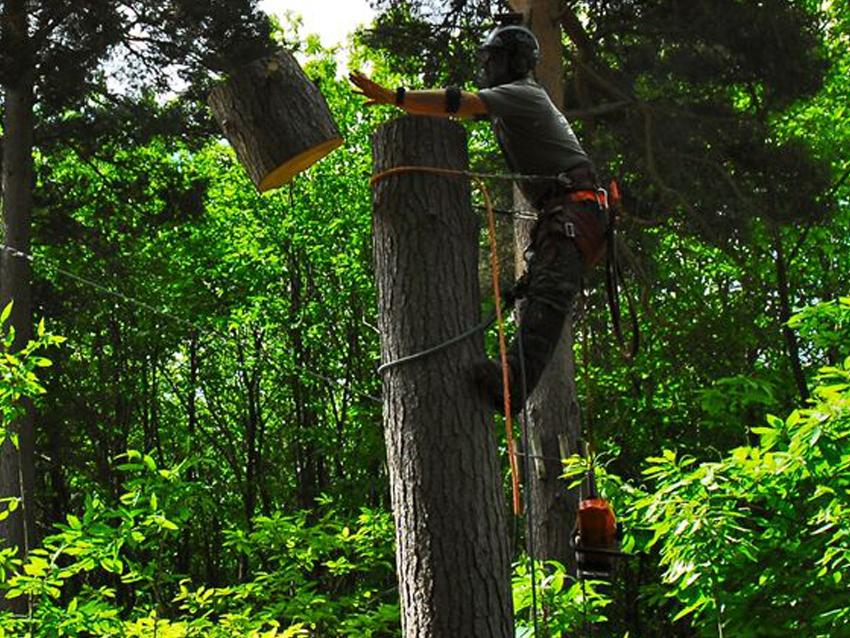 Dismantling of dangerous Douglas fir (Pseudotsuga menziesii) at Go-Ape Bedgbury Pinetum