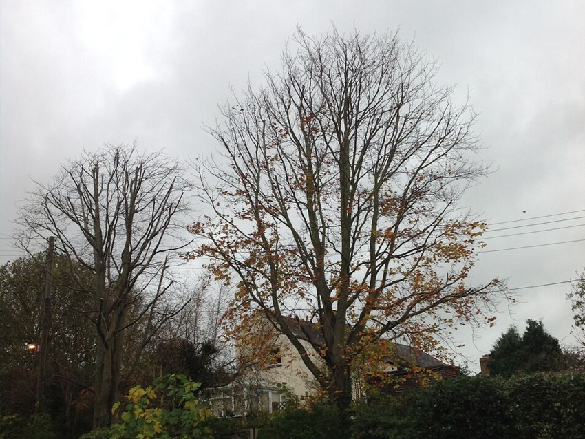 Crown reduction of two Beech (Fagus sylvatica) trees