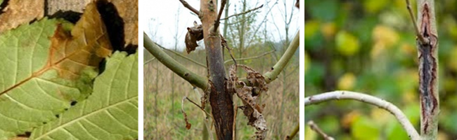 how to identify ash dieback