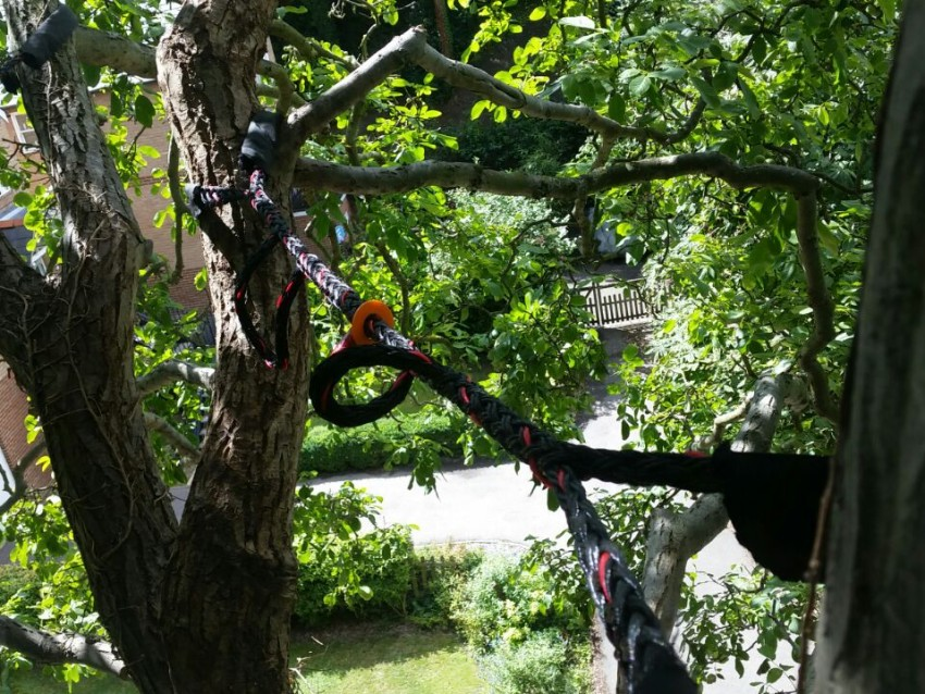 Cable bracing a large Walnut tree (Juglans regia)